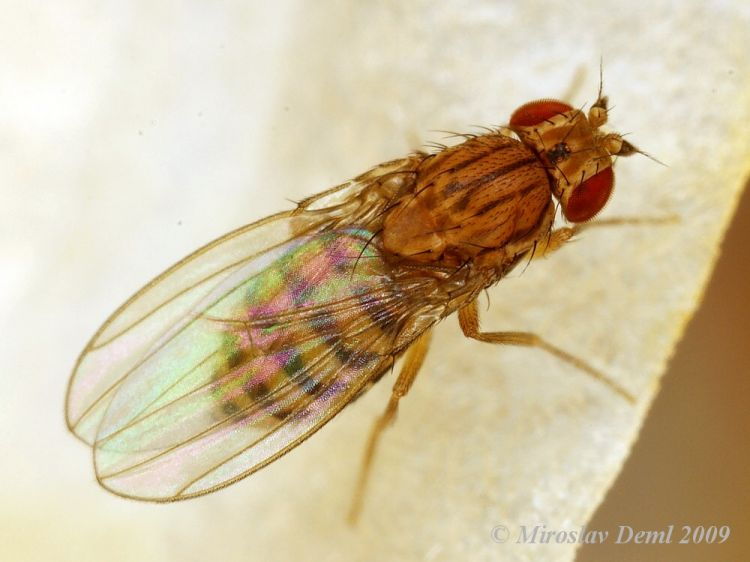 Drosophila busckii