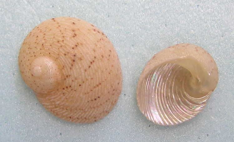 Granata imbricata - Tiled Top-shell