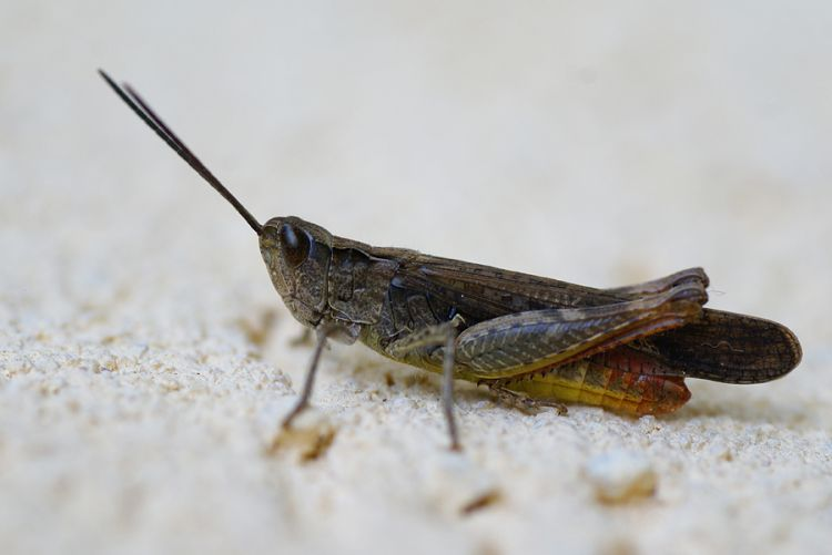 Chorthippus brunneus - Common Field Grasshopper