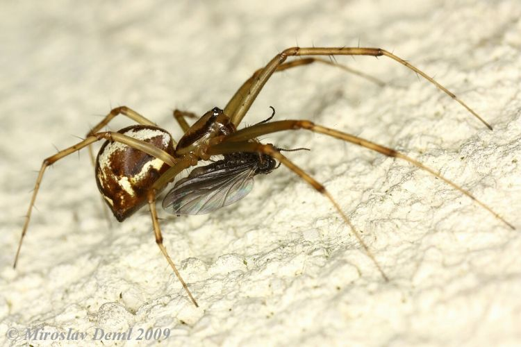 Linyphia triangularis - Money Spider
