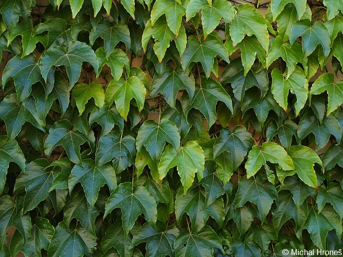 Parthenocissus tricuspidata - Boston-ivy
