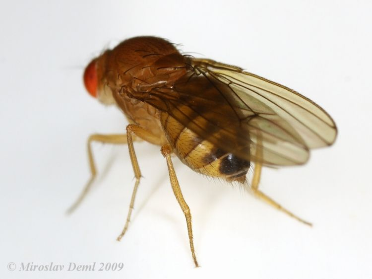 Drosophila immigrans