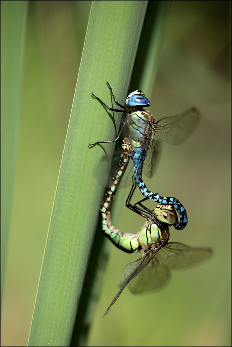 Aeshna affinis - Southern Migrant Hawker