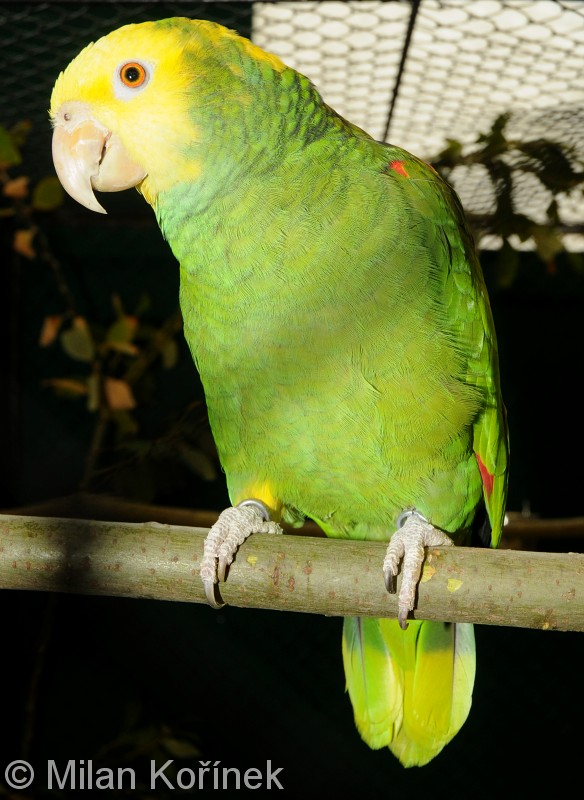 Amazona oratrix - Yellow-headed Parrot