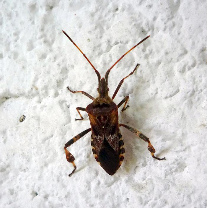 Leptoglossus occidentalis - Western Conifer Seed Bug