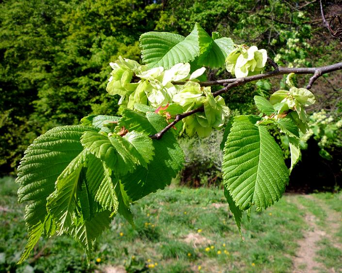 Ulmus minor - Smoothleaf Elm