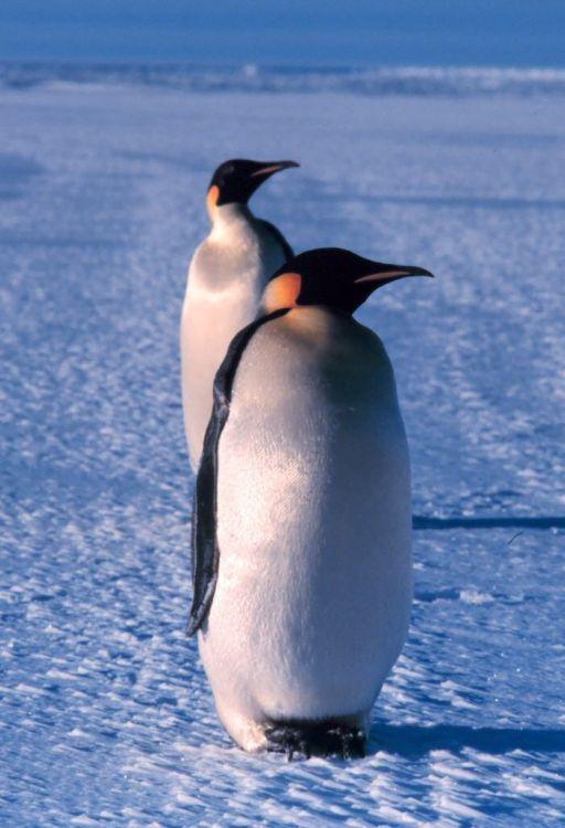 Aptenodytes forsteri - tučňák císařský