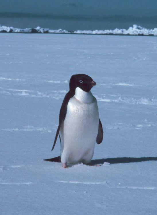 Adélie penguin  Wikipedia