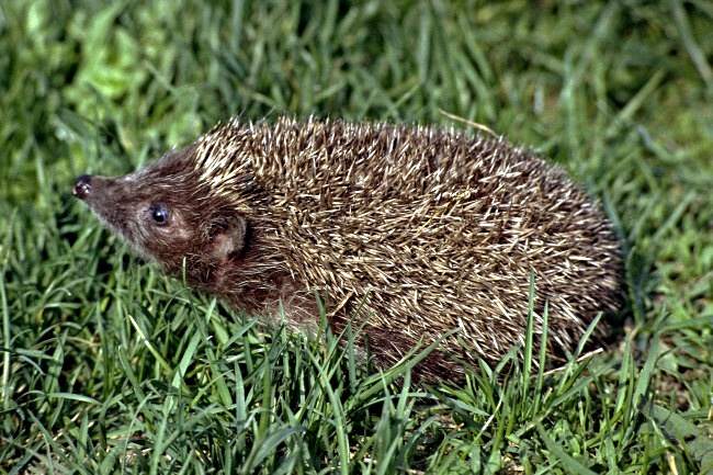 Erinaceus roumanicus - Eastern European Hedgehog