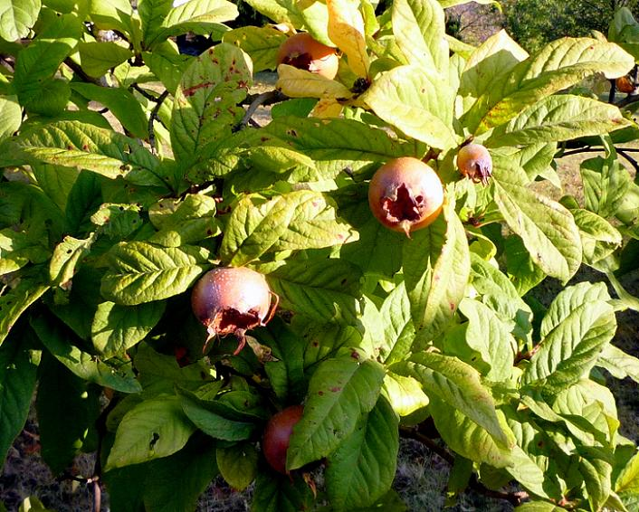 Mespilus germanica - Medlar