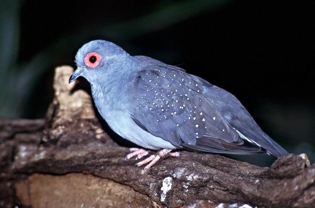 Geopelia Cuneata Diamond Dove Biolibcz