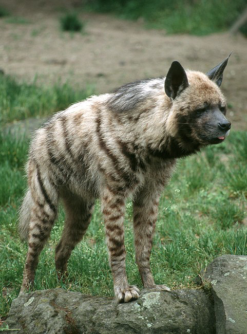 Hyaena hyaena - Striped Hyena