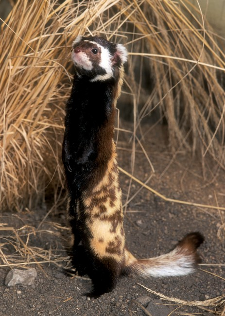 Marbled Polecat Honey I Shrunk Your Spotted Hyena
