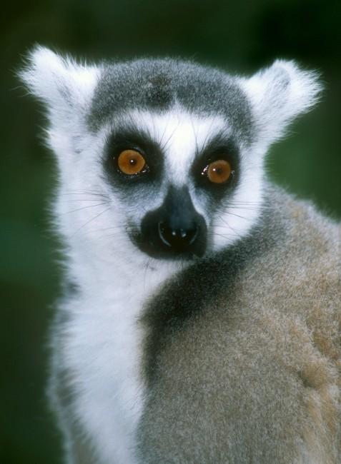 Lemur catta - lemur kata