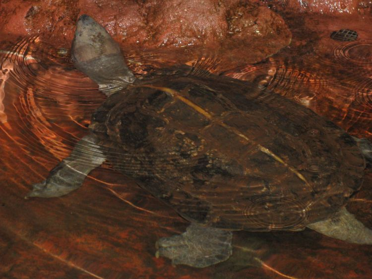 Heosemys grandis - Giant Asian Pond Turtle