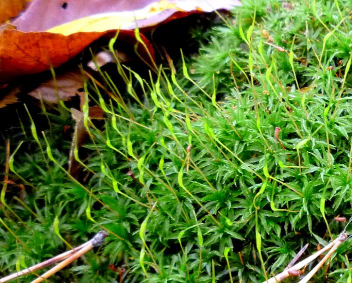 Polytrichum commune - Hair Cap Moss