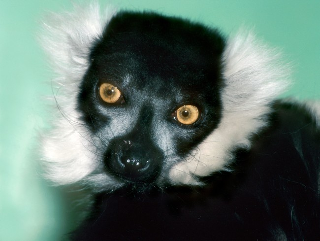 Varecia variegata - Black and White Ruffed Lemur