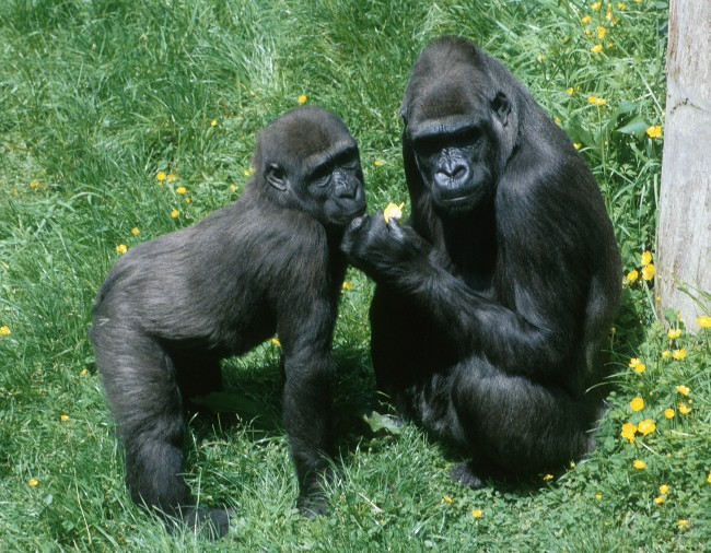 Gorilla gorilla gorilla - gorila nížinná