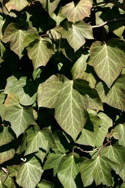 Hedera helix - Common Ivy
