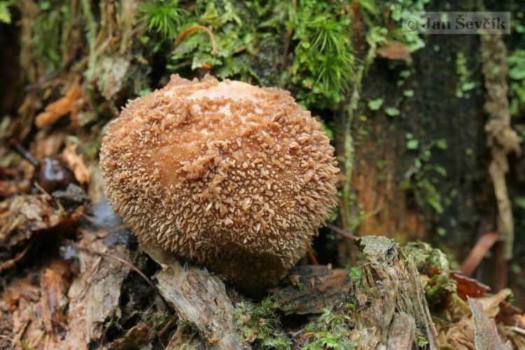 Lycoperdon echinulatum image