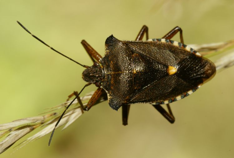 Pentatoma rufipes - Forest Bug