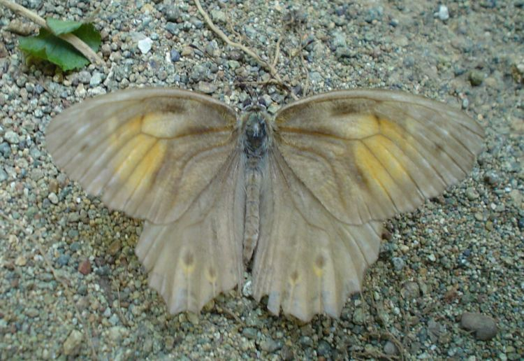 Kirinia roxelana - Lattice Brown