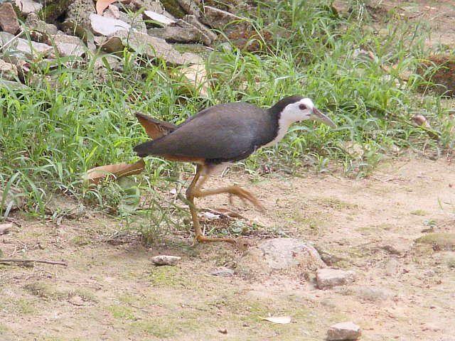 Amaurornis phoenicurus - White-breasted Waterhen