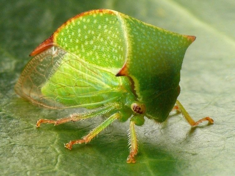 Stictocephala bisonia - Buffalo Treehopper