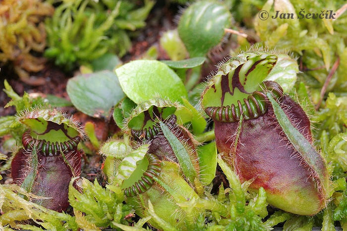 Cephalotus follicularis - West Austaralian Pitcher Plant