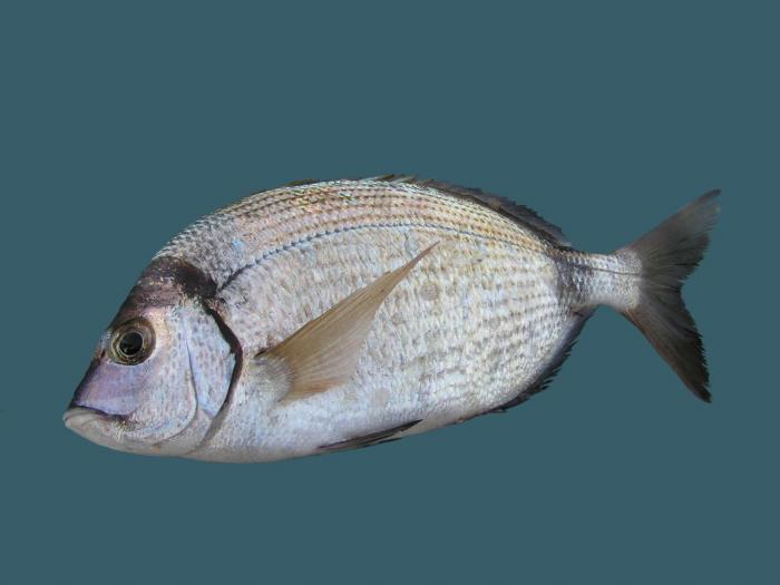 Diplodus vulgaris - Blacktail Bream