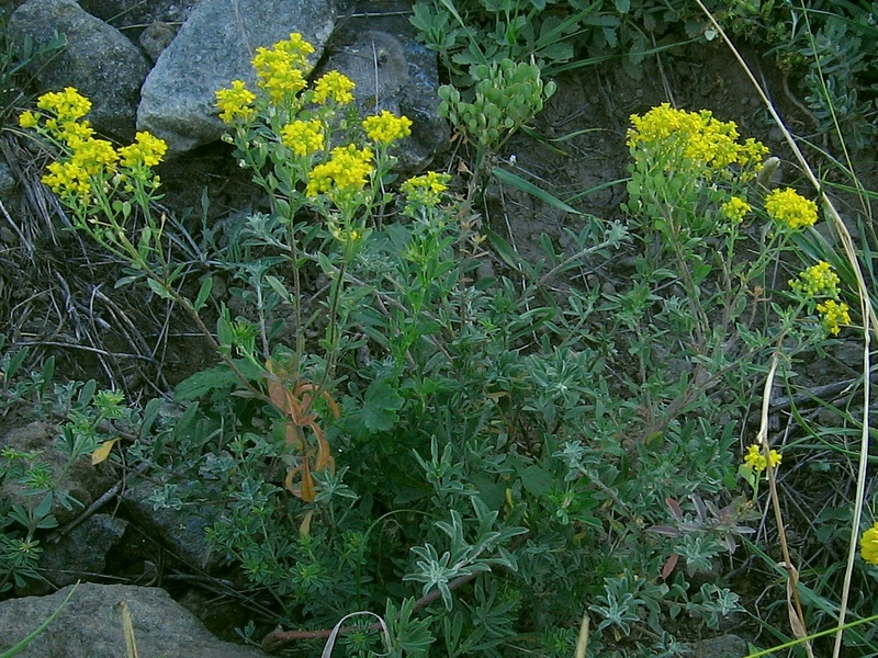 Alyssum murale - Yellowtuft