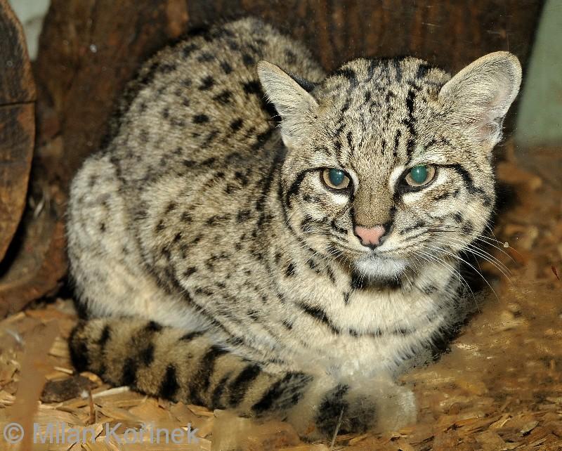 Geoffroy Cat X House Cat Hybrid