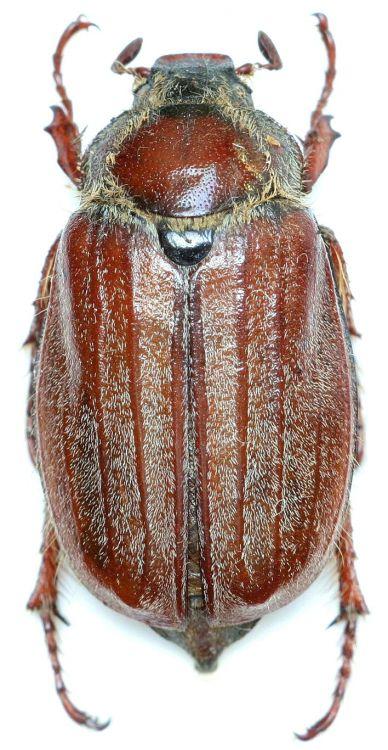Строение надкрыльев майского жука фото