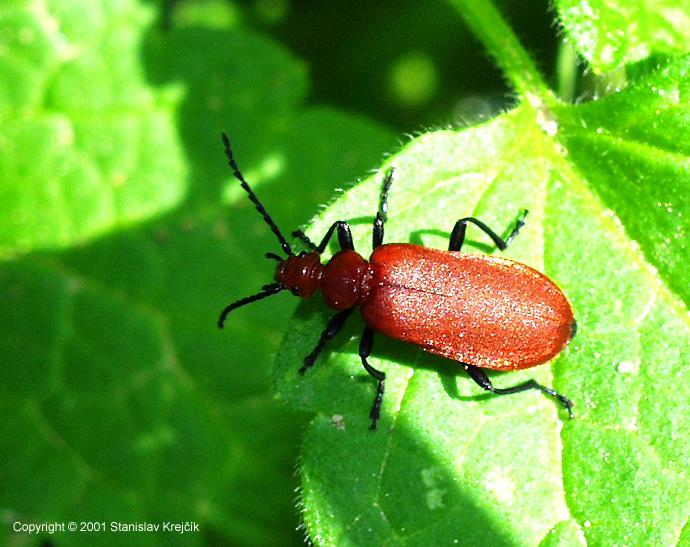 Pyrochroa serraticornis serraticornis - Red-headed Cardinal Beetle
