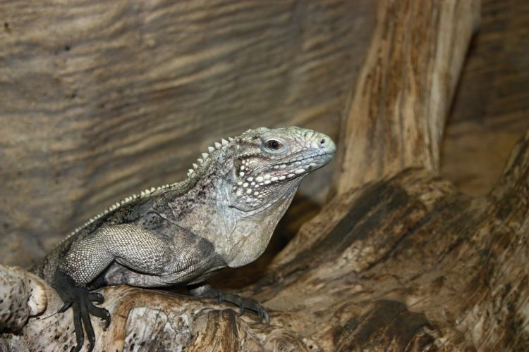Cyclura nubila - Cuban Ground Iguana