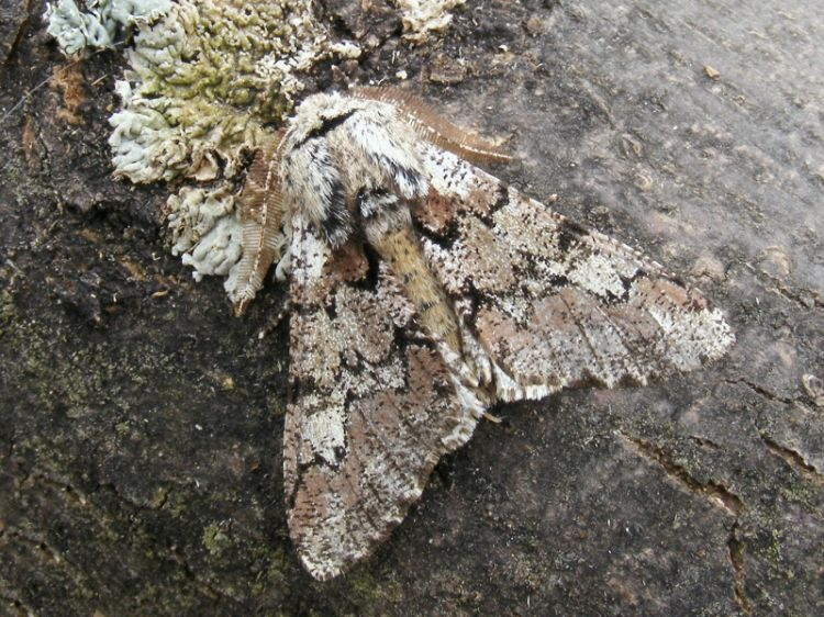 Biston strataria - Oak Beauty