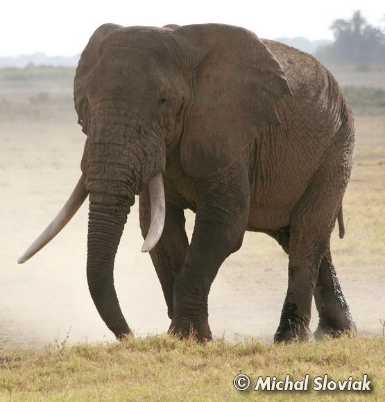An introduction to the nature of the african elephant aka loxodonta africana