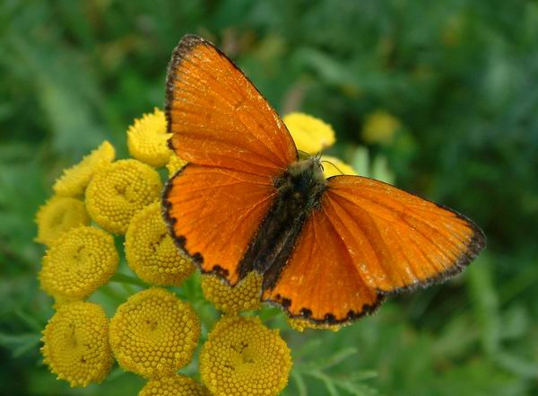 Lycaena virgaureae - Scarce Copper