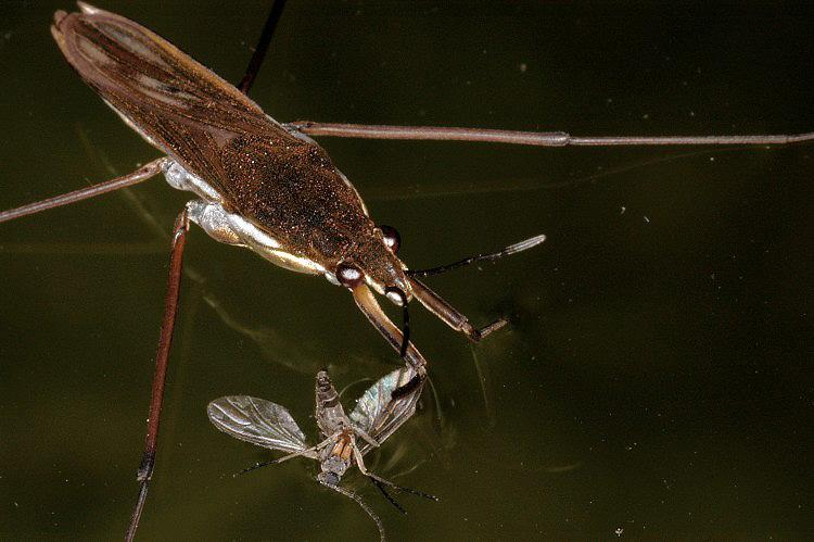 Gerris lacustris - Common Pondskater