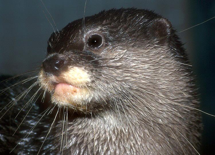 Aonyx cinerea - Oriental Small-clawed Otter