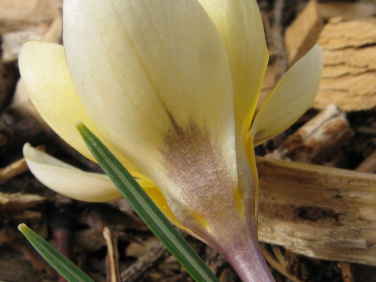Crocus chrysanthus - Golden Crocus