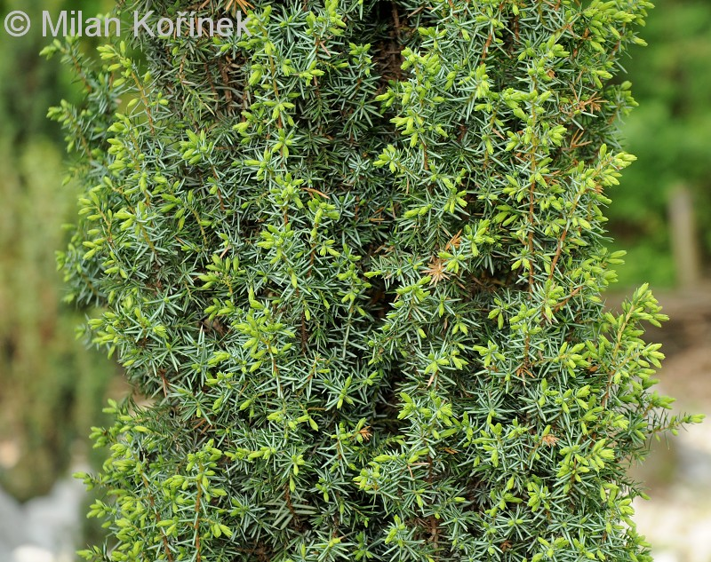 image juniperus communis 39 hibernica 39 common juniper. Black Bedroom Furniture Sets. Home Design Ideas