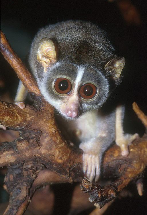 Loris tardigradus - Red Slender Loris