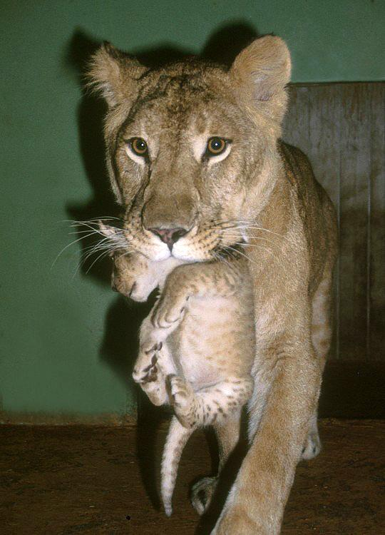 Panthera leo goojratensis