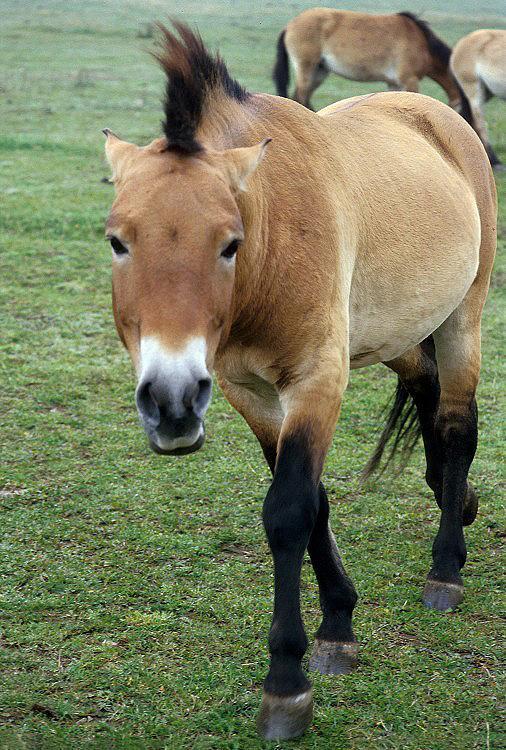 Equus ferus przewalskii - kůň Převalského