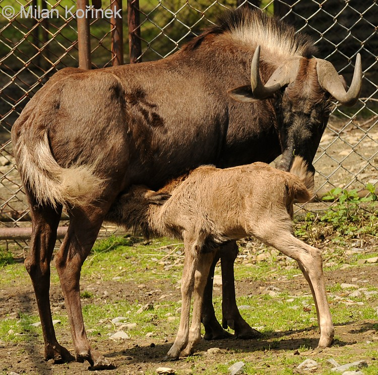 Connochaetes gnou - Black Wildebeest