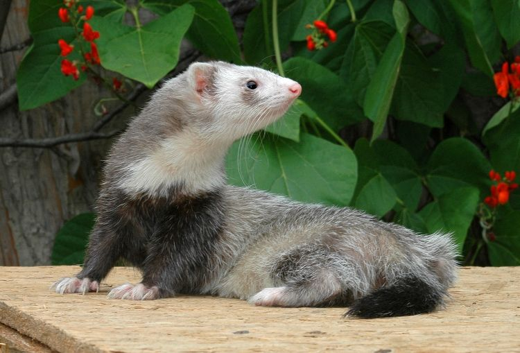 Can Your Ferret Eat Cat Food