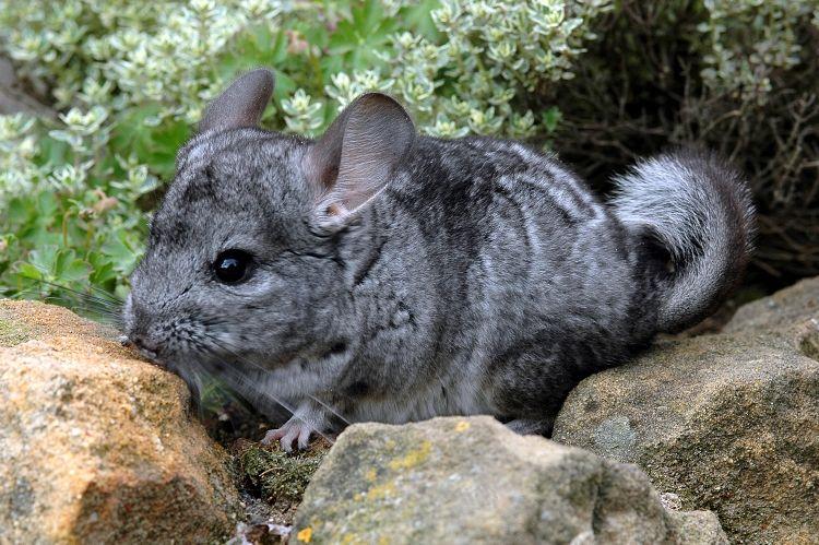 Image - Chinchilla lanigera (Long-tailed Chinchilla ...