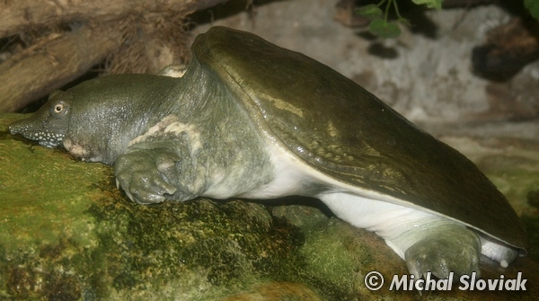 Pelodiscus sinensis - Chinese Soft-shelled Turtle