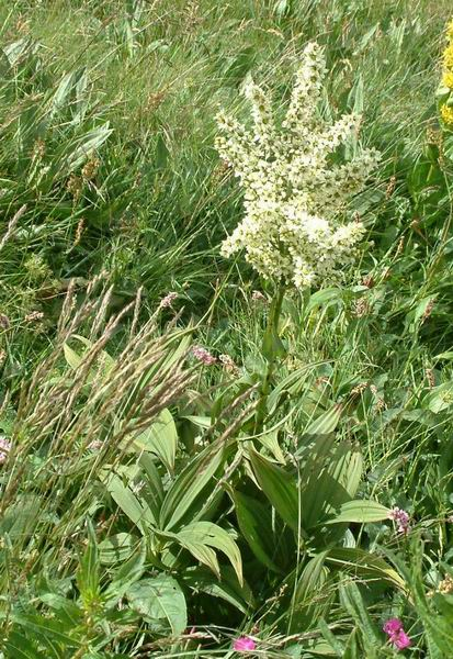 Veratrum album - White False Hellebore